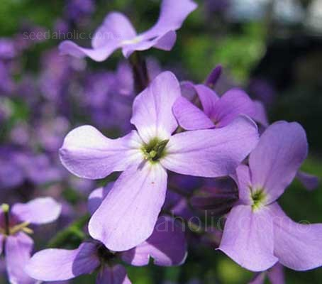Night Scented Stock is one of the easiest and rewarding scented plants to grow.