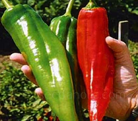 Chili Pepper 'Big Jim' pods can grow up to 35cm in length, but on average they are about 17.5cm long and 5cm wide.