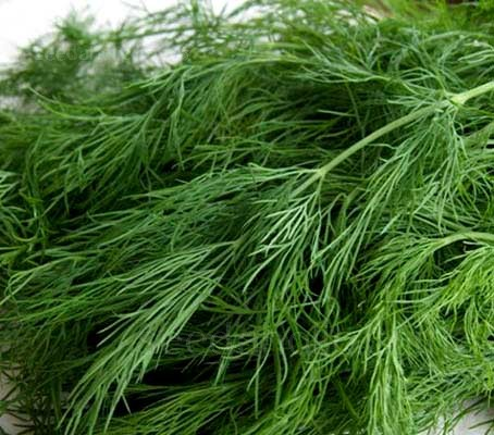 Dill's fernlike herb leaves have a sweet and aromatic flavour, between anise and caraway.