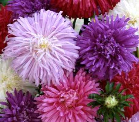 Ostrich Feather Mixed produces large, vigorous heads of flowers with attractively curled interlaced petals