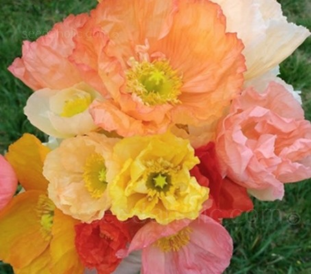 Papaver nudicaule 'Kelmscott Giants' produce large, luscious, crepe paper-like petals in an array of soft pastel shades.