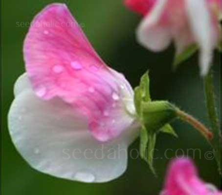 The original 'Painted Lady' sweet pea arose as a sport from 'Cupani' in about 1730.