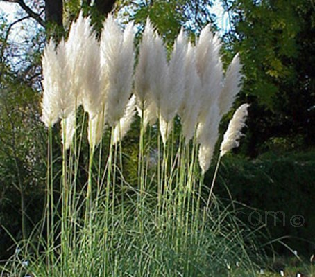 Pampas Grasses are the ultimate architectural plant and one of the most recognized plants in the landscape
