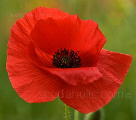 Papaver dubium is an annual species of poppy known by the common names Long-headed Poppy and Blindeyes.