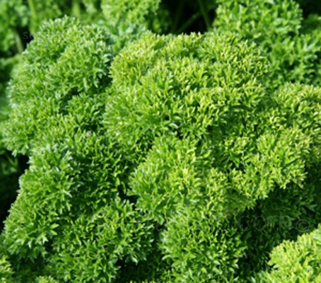 Parsley is the best known of all the garnishing herbs.