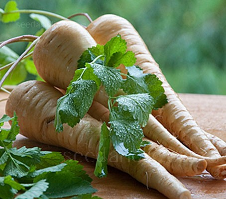 Hollow Crown is one of the oldest varieties of parsnip, with a depth and richness unmatched by most other varieties.