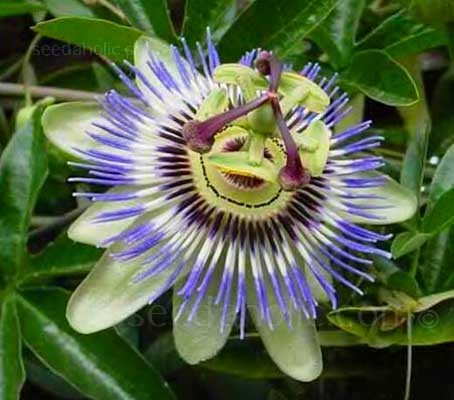 Passiflora caerulea is also known as the Blue Crown Passion Flower or Hardy Passionflower.