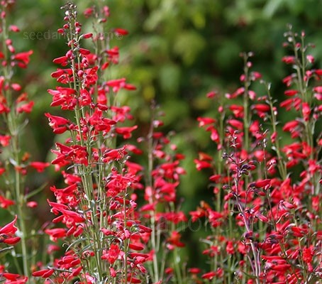 Penstemon barbatus 'Twizzle Scarlet'