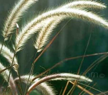 "Pennisetum macrouruna ""Tail Feathers"" is a beautiful tussock forming grass."