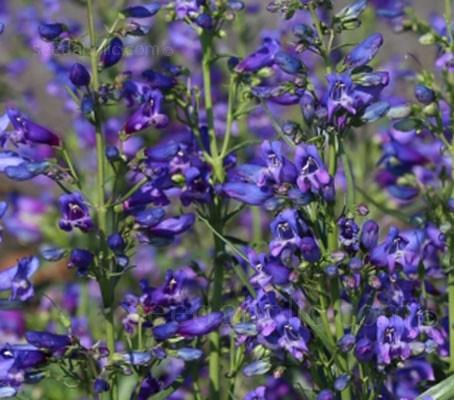 Penstemon barbatus 'Twizzle Blue'