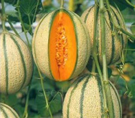 Melon Pepito is a Cantaloupe Melon variety typically 1.2 to 1.4 Kg in size. The flesh has a deep orange colour and great flavour.