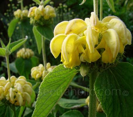 With its long period of flowering, Phlomis russeliana is a justifiably popular plant.
