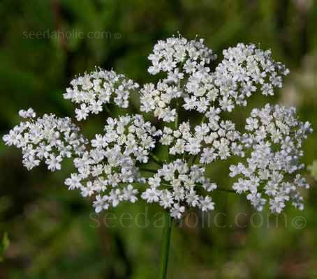 Anise is a dainty, plant with tiny white flowers that are produced in dense umbels.