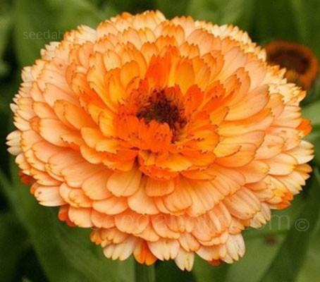 Calendula 'Pink Surprise' is a striking blend of colours, soft yellow and blushed apricot-pink.