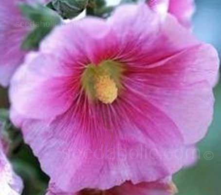 Alcea ficifolia produces large, single saucer shaped flowers that are 8 to 12cm wide from May to October.