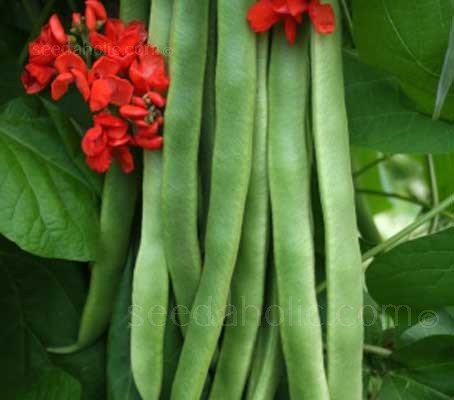 Polestar produces clusters of fleshy, flavoursome beans that are stringless and very tasty.