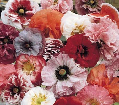 'Pastel Doubles Mix' is a glorious mixture of double flowered poppies.