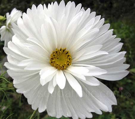 Cosmos 'Psyché White' has huge, crepe paper petals that form loose, elegantly waved, upright, pure white blooms.