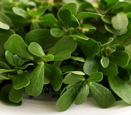 Purslane 'Green Purslane'