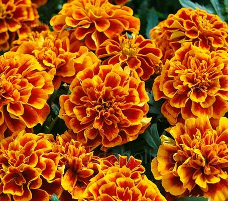 Gorgeous to the point of excess, Tagetes 'Queen Sophia' produces blooms with deep orange-to-russet petals, intricately edged with russet and gold.
