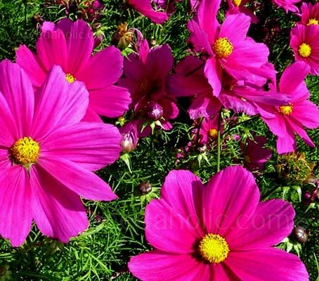 Cosmos bipinnatus 'Radiance' produce glorious deep, wine-red flowers on plants that grow to around 3 to 5 feet tall.