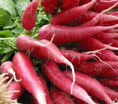 Radish 'China Rose' produces long, tapering roots with attractive rosy pink skins and crisp, pure white flesh.
