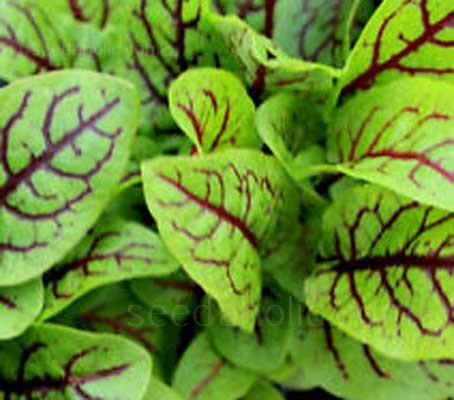 Red Veined Sorrel is valued for its pointed and bright lime-green leaves with dark red veins.