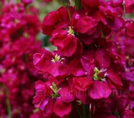 Matthiola 'Cinderella Red'