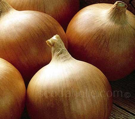 Onion Rijnsburger 5 is an excellent Dutch variety with beautiful firm straw coloured skin, pure white flesh and a good flavour.