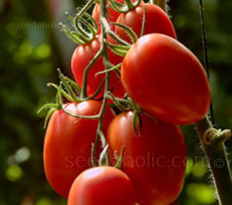 Roma VF is a traditional plum tomato that gives incredible yields of very richly flavoured, pear-shaped fruit