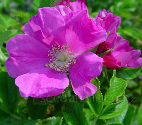Rosa rugosa 'Japanese Rose'