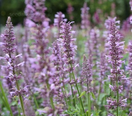 Agastache pallidiflora produces a continual mass of lavender-rose, scented flowers from June to September.