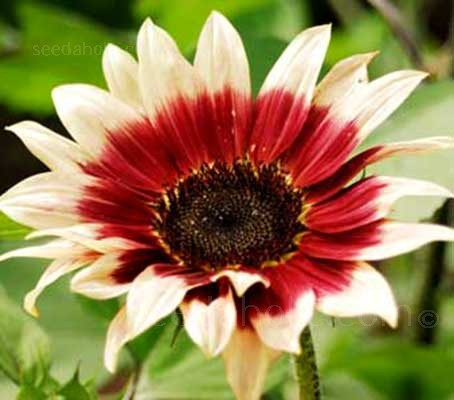 Helianthus annuus 'Ruby Eclipse'