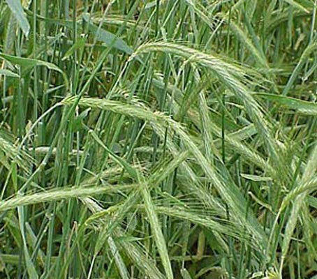 Rye is one of the best green manures for winter use, it is the best cool-season cereal cover for absorbing soil nitrogen.
