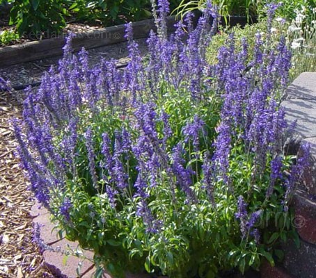 The deep violet blue colour of Victoria Blue salvia flowers are no doubt the plants' outstanding feature.