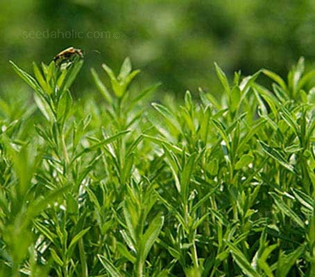 Easy to grow, Winter Savory makes an attractive border plant for any culinary herb garden.