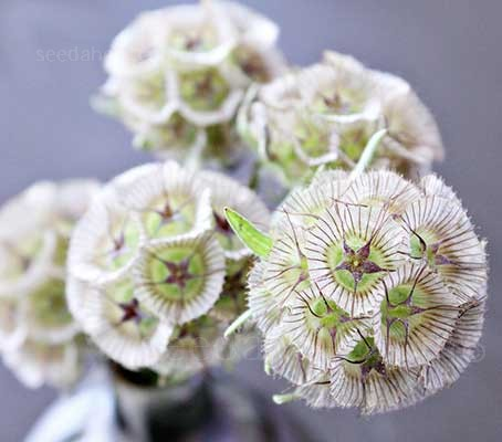 The papery bracts of Scabiosa stellata add a new shape to the garden.
