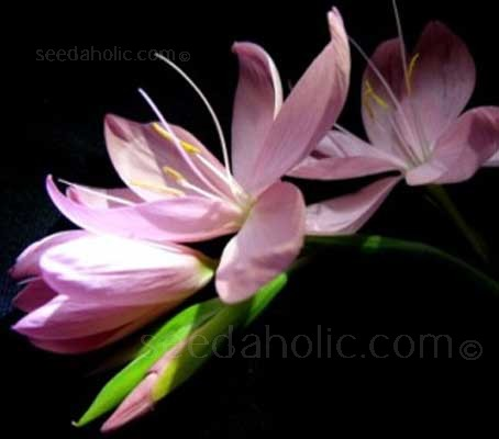 Schizostylis are autumn flowering perennials, they are valued in gardens for their late flowering.