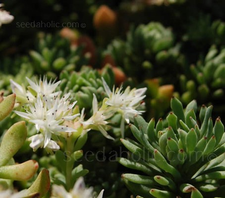 Sedum glaucophyllum 'Silver Frost' is an attractive succulent that forms rosettes of tiny, blue-green leaves.