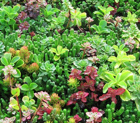 The Sedum Roof Garden Mix is a formula mixture of many important varieties especially suited for roof gardens