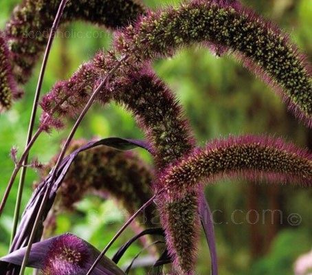 Setaria italica Red Jewel is a variety of annual grass with intensely coloured burgundy red foliage and foxtail-shaped flowerheads.