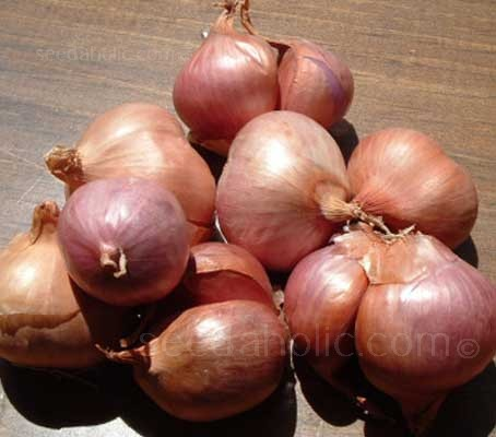 "Shallot ""Matador F1"" is exceptional French variety that grows from seed."