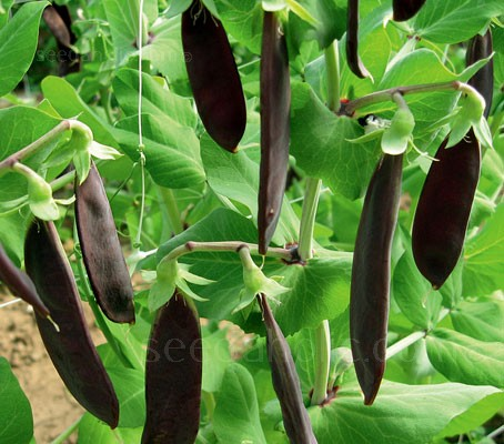 'Shiraz' is the first modern purple-podded mangetout pea.