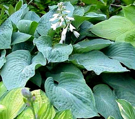 Grown primarily for its beautiful foliage which provides colour, contrast and texture.