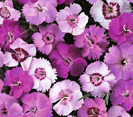 Dianthus plumarius 'Single Flowered Mix' blooms with elegant single flowered blooms, 3 to 4cm (1½in) wide.