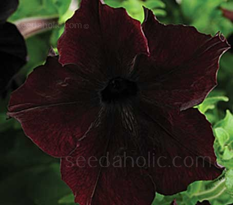 Petunia 'Sophistica Blackberry' is a large flowered aristocrat that produces luscious, shimmering black blooms with reddish-purple undertones.
