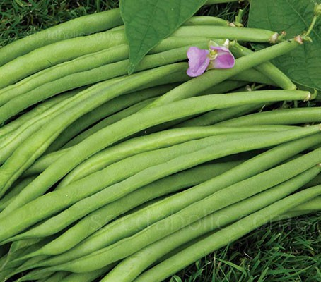 French Bean 'Speedy' is one of the earliest and quickest beans to produce pods to pick.