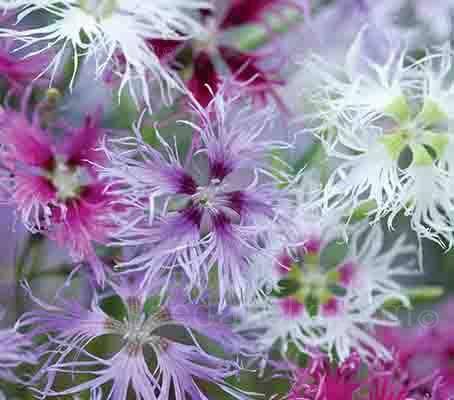 Dianthus superbus 'Spooky'