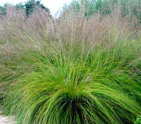 Sporobolus is considered by many to be one of the most refined of all the prairie grasses.