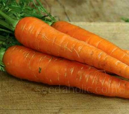 Carrot 'St Valery' is a reliable old favourite that produces handsome, deep burnished orange-red roots that are sweet and tender.